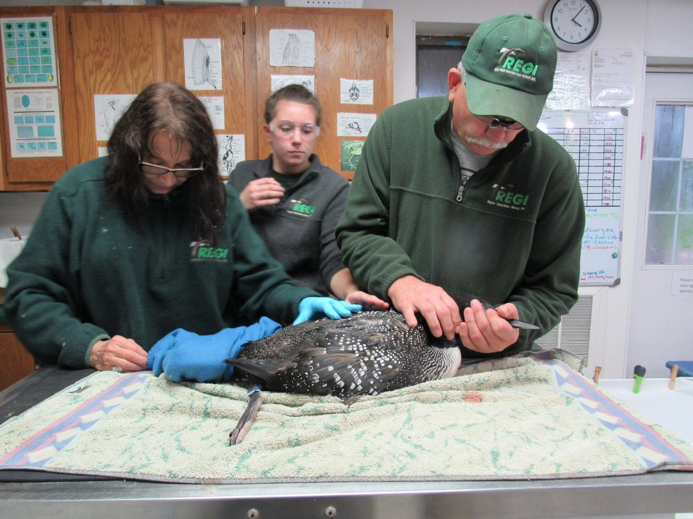 Our thanks to Linda and Kevin Grenzer for rescuing and transporting the loon to REGI.