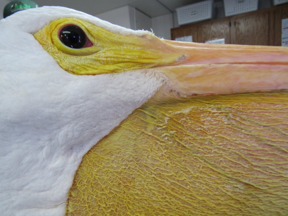 The pouch of a White Pelican expands to hold up to 3 gallons of water.