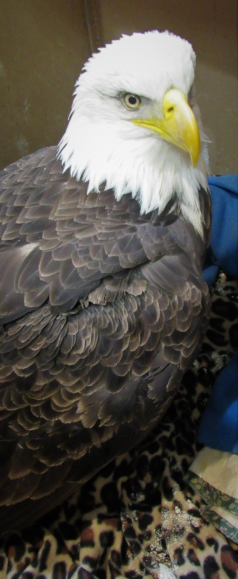 Keshena bald eagle standing and no longer suffering from seizures.