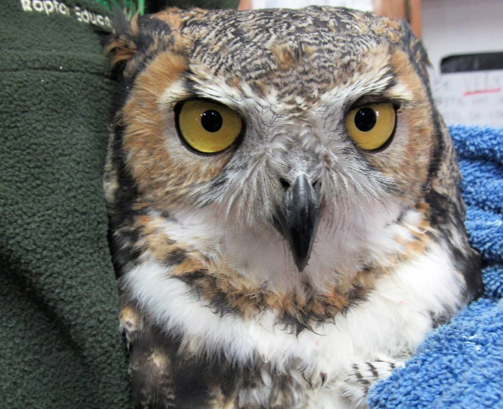 A handsome male Great-horned Owl recovered from being hit by a car and is ready to go home.