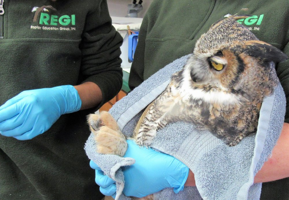 Pre-release physicals include weighing the birds, checking the feather and body condition.
