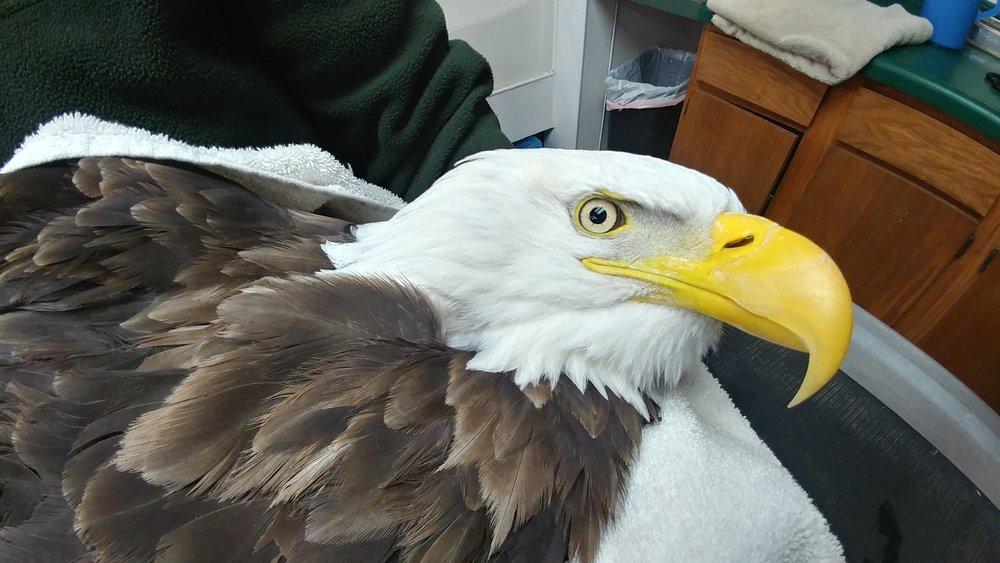 Gorgeous male Bald Eagle.
