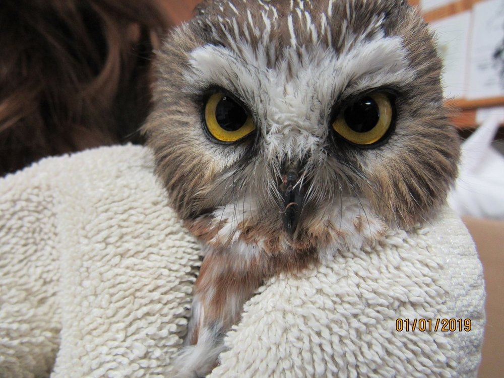 This male Saw-whet Owl was hit by a car in Elcho,WI. He is doing well and nearing release as soon as he gains weight.