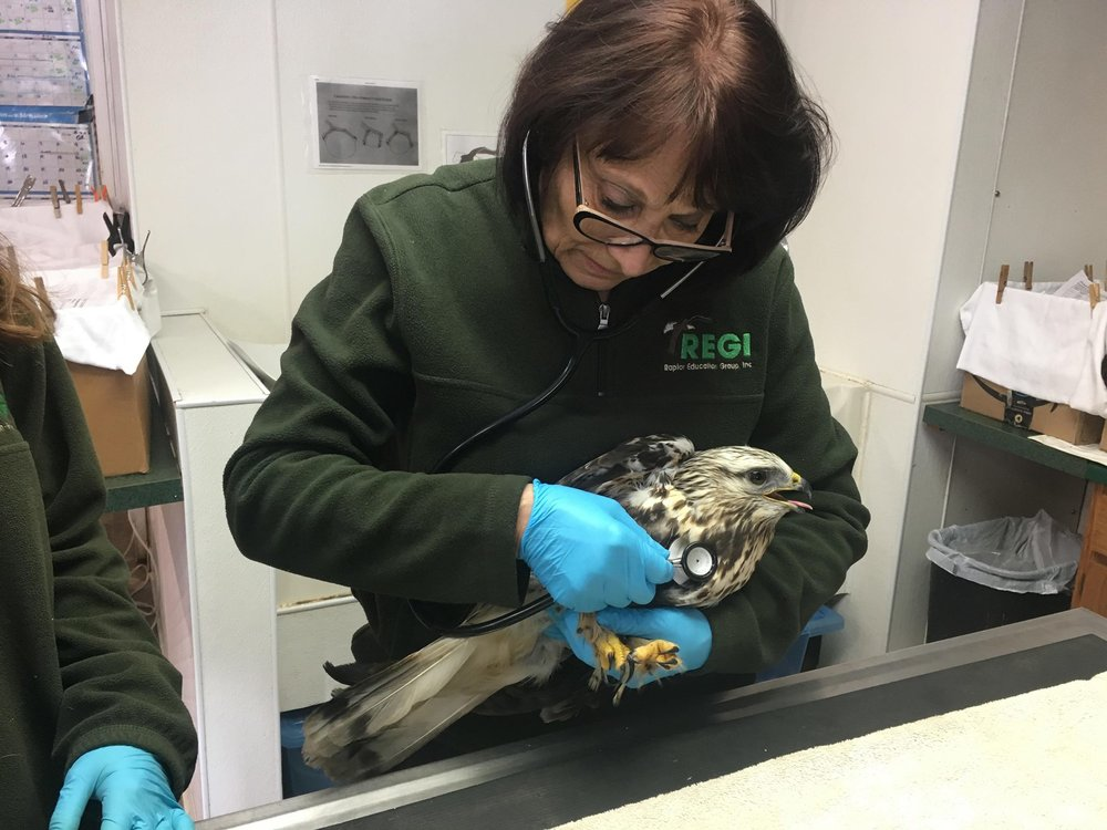 The hawk has a ruptured air sac. We can hear the air movement in his chest cavity.