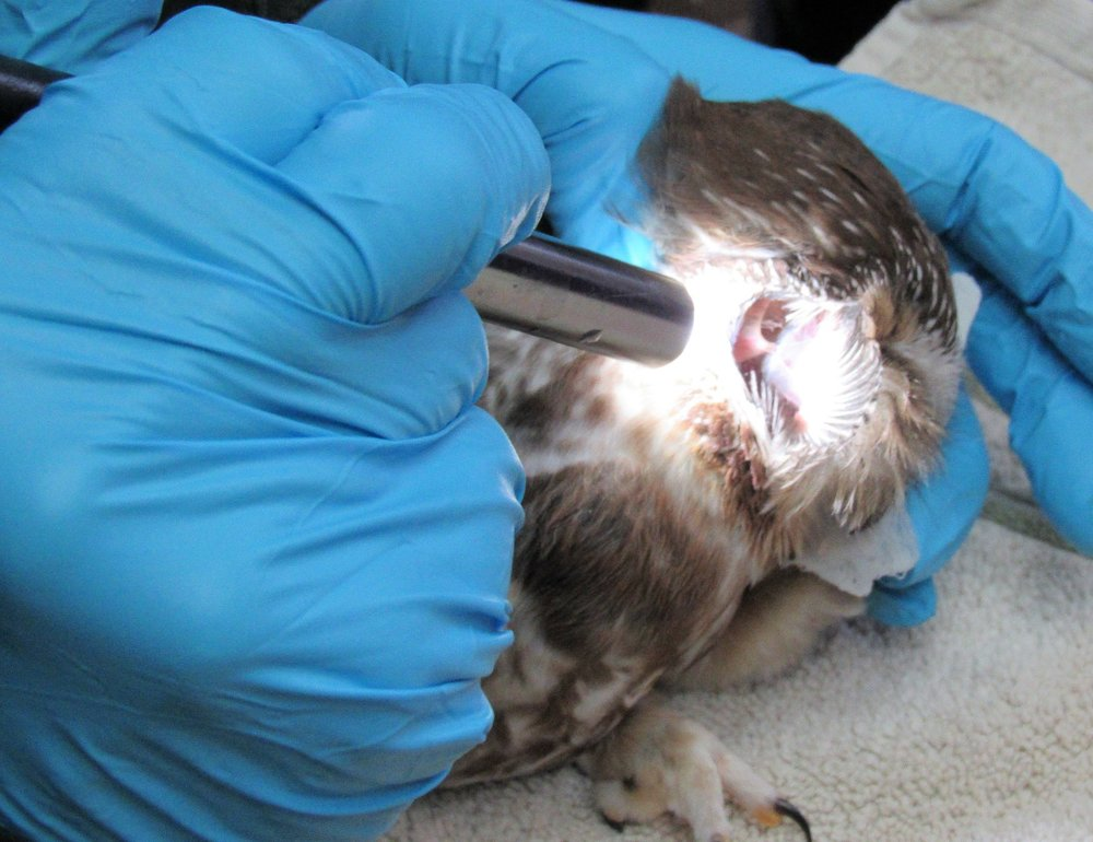 The ear opening of an owl is very large for the size of the bird.