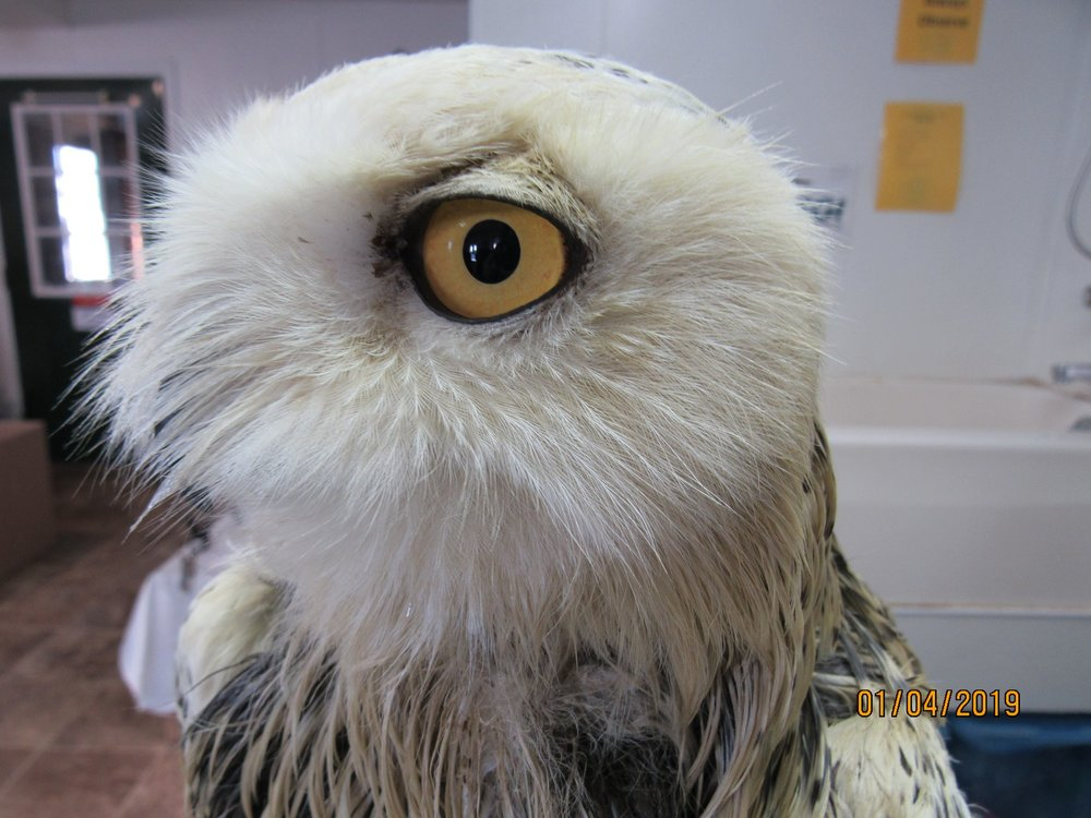 The Snowy Owls eyes were not injured during his episode with the cow manure.