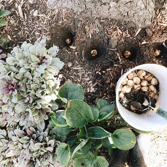 Hoping these bulbs would remain in their respective holes and not being dug up by those nuisance squirrels 🐿😠. #nadsgarden . . . . . . . . #kindredmemories #simplepleasures #livesimply #simplelife #littlestoriesofmylife #thatsdarling #treasuringlittlememories #lovethelittlethings #thepursuitofjoy #thingsiwanttoremember