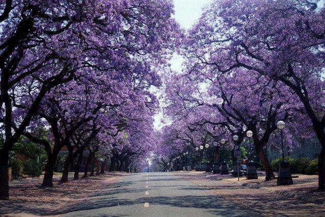Jacarandas Pretoria.jpg