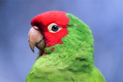 green parrot red head.jpg