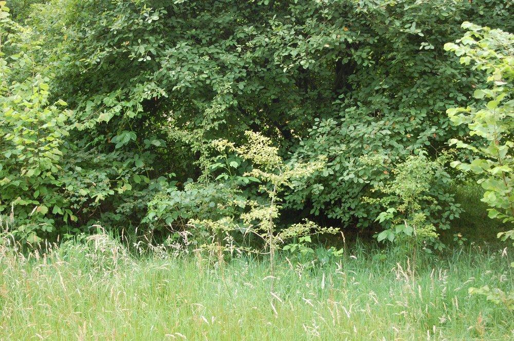 Traditionele aangeplant met bosplantsoen in 2013 - nu zomer 2016