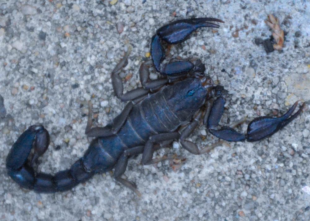 Texas Cave Scorpion   (   Pseudouroctonus reddelli   )