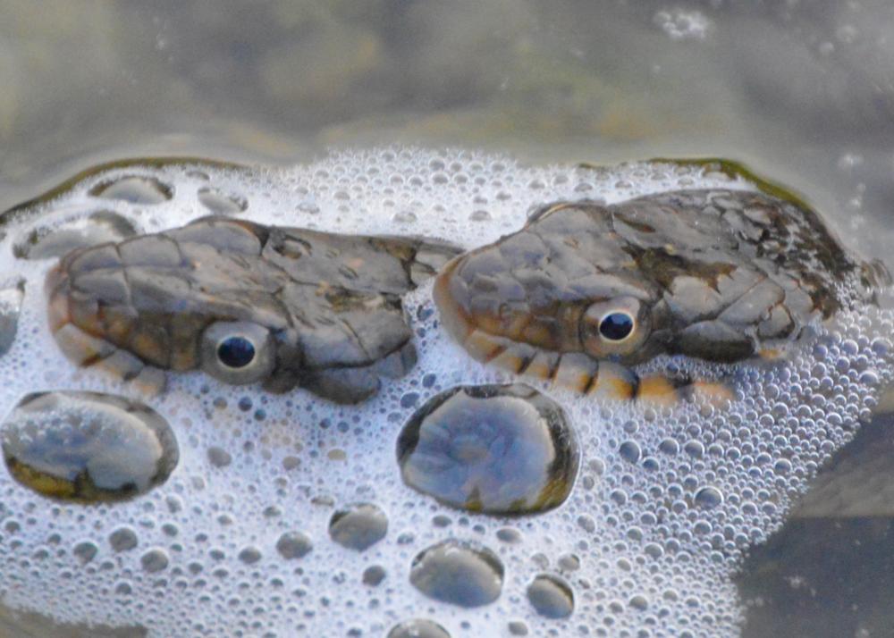 Plain-bellied Watersnakes   (Nerodia erythrogaster)