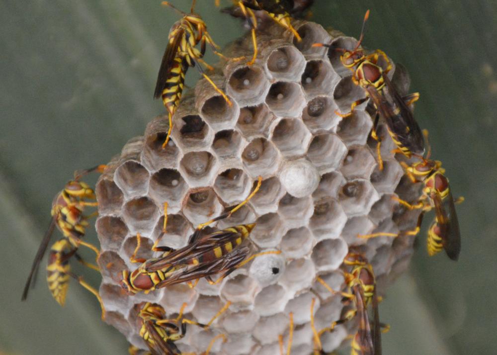 Guinea Paper Wasps   (Polistes exclamans)
