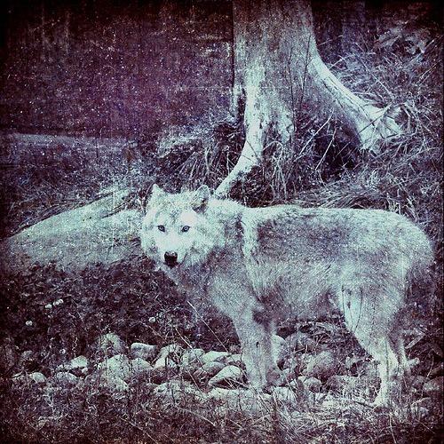 wolf (via  nico*2006 )