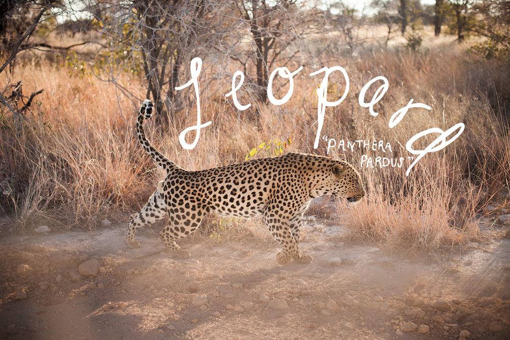 leopard_stretch_title.jpg