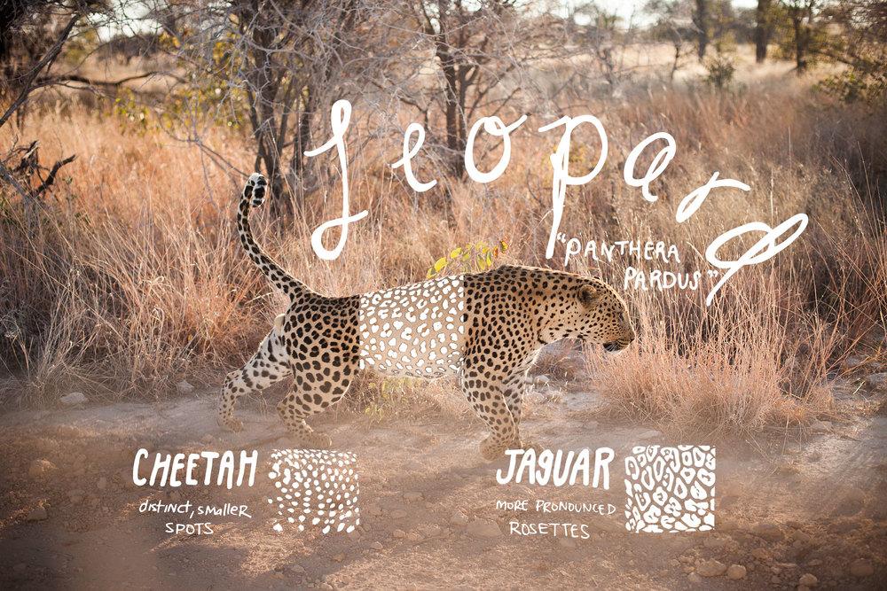 leopard_stretch_spotscomparison.jpg