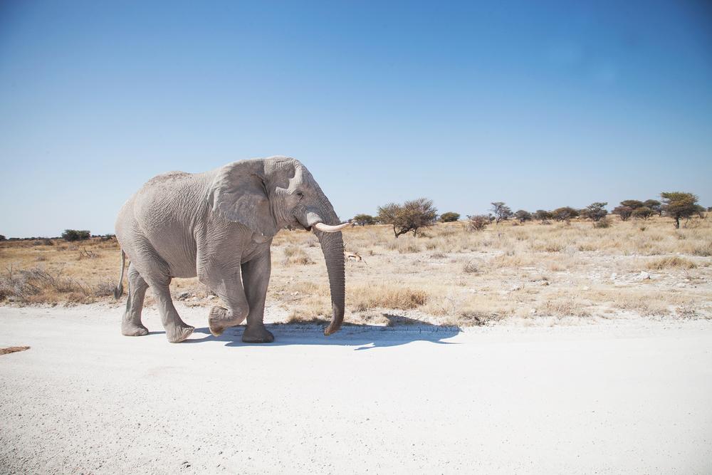 elephant_profile_walk.jpg