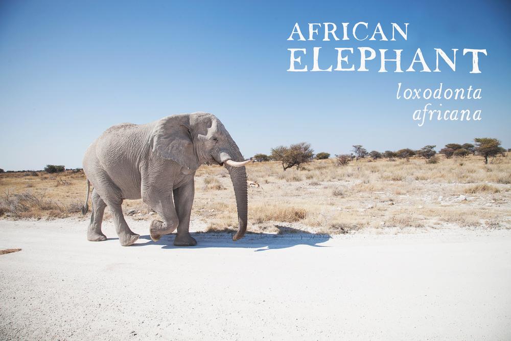 elephant_scientificname.jpg