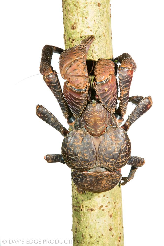 The coconut crab