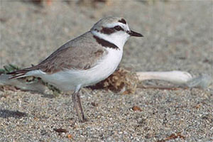 Peter LaTourrette /  www.birdphotography.com A photograph of a snowy plover on a beach