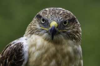 "Photo: ""Ferruginous Hawk"" by Larry Calof; used with permission"
