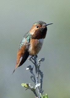 Allen's Hummingbird - Alvaro Jaramillo