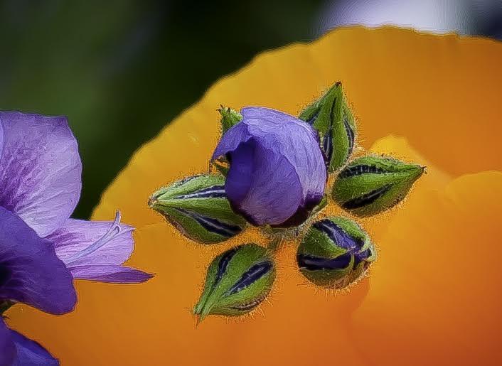 Gilia Buds - by Beau Gill