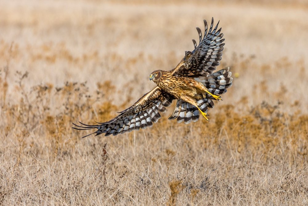Marie Susa - Northern Harrier at Wavecrest