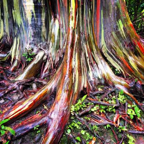 RAINBOW EUCALYPTUS, MAUI -- PHOTOGRAPH BY KATHLEEN WILLIAMSON