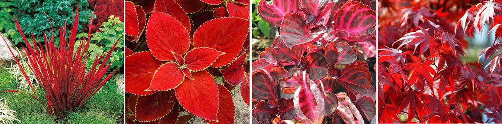 Imperata cylindrica 'Red Baron' (Barón rojo) | Coleus 'Red Coat' (Cóleo o cretona) | Iresine lindenii ( Iresine u hoja de sangre) | Acer palmatum 'Fire Glow' (Arce japonés)