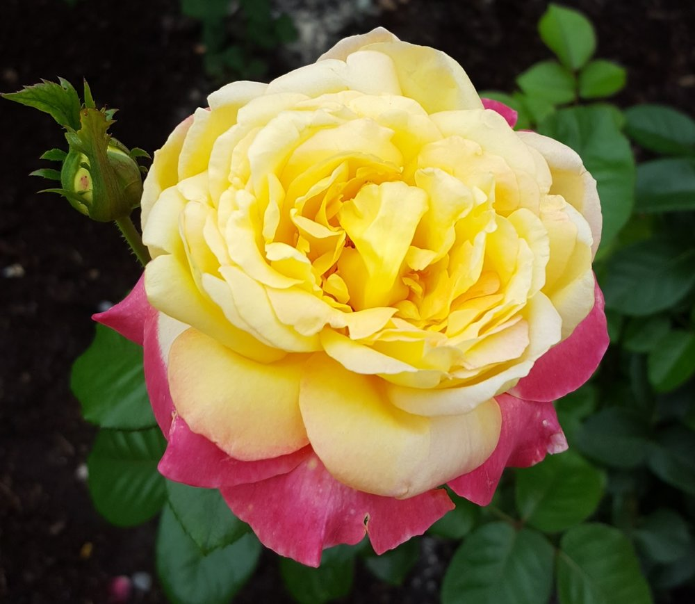 'Heart O'Gold' grandiflora rose (some beauty to help you get over the visual trauma caused by that last photo)
