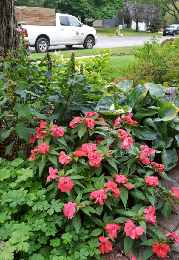 'Bounce Bright Coral' impatiens add season-long color to a perennial border.