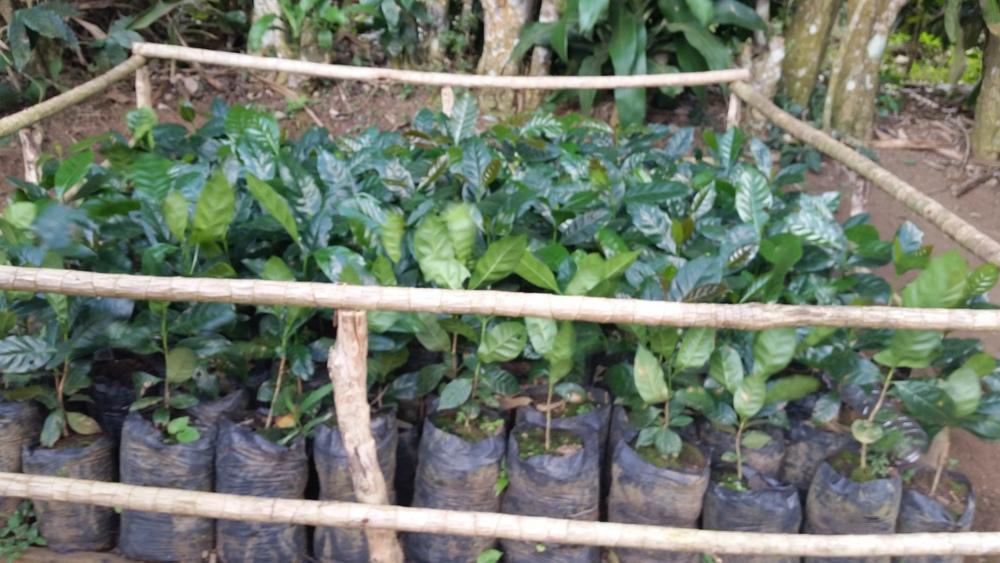 Coffee plant nursery, Cafe las Flores, Nicaragua