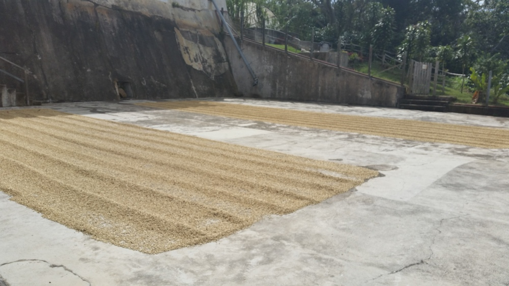 Coffee beans drying after fermentation, Cafe Las Flores, Nicragua