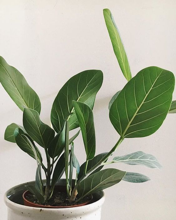 We love this Ficus which is a little less needy than the popular Ficus Lyrata!  Provide indirect light and water well letting soil dry slightly in between waterings.
