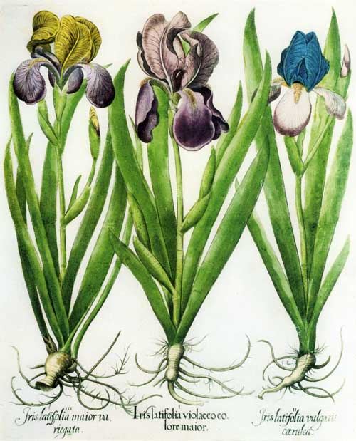 Basilius Besler's drawing of three German irises appeared in the Hortus Eystettensis, which was published in 1613.