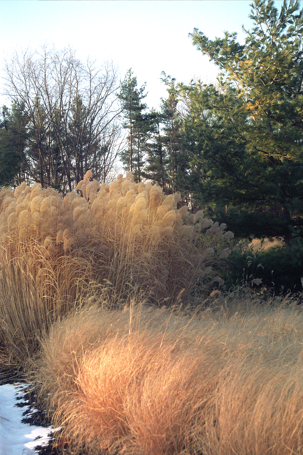 Winter Wheat Colored Ornamental Grasses