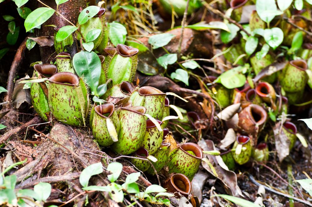 carnivorous-plant.jpg