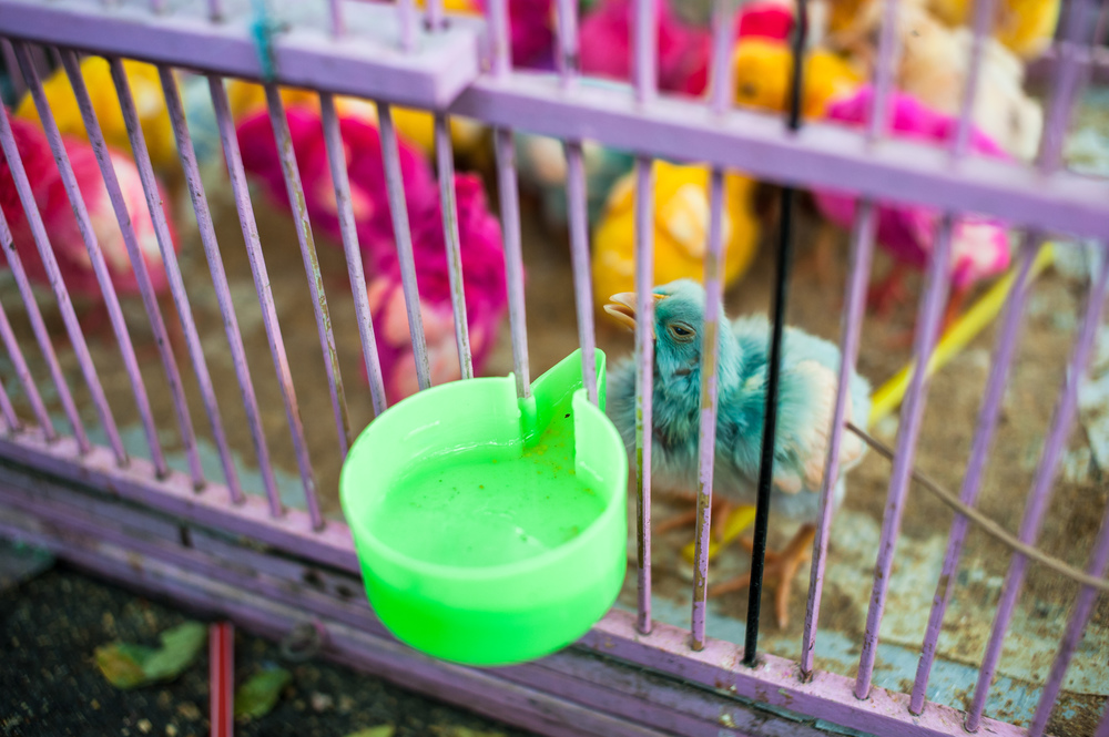 colored-chicken.jpg