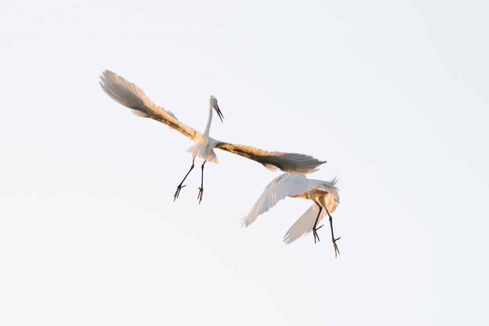 myanmar-egrets.jpg