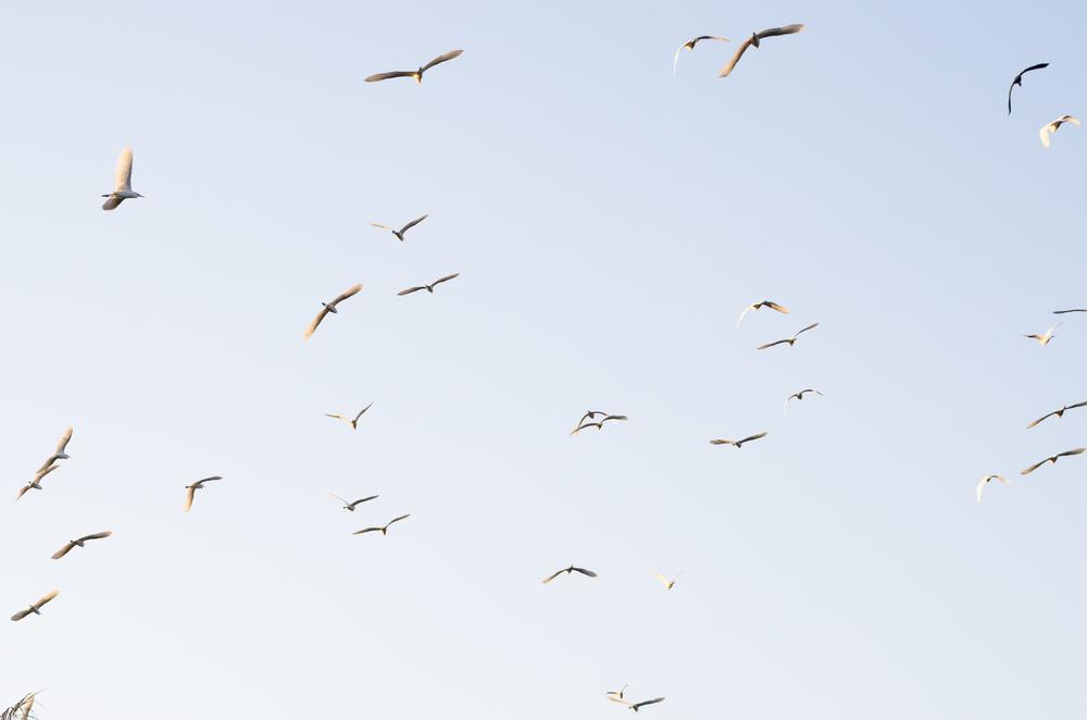 myanmar-egrets2.jpg