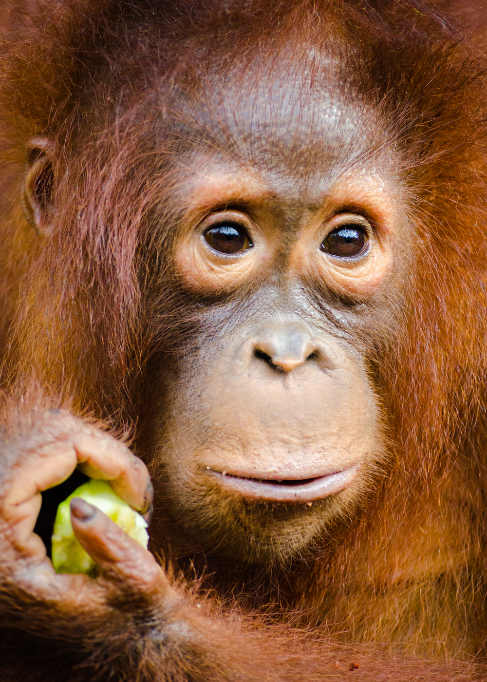 orang-utan-close-up.jpg
