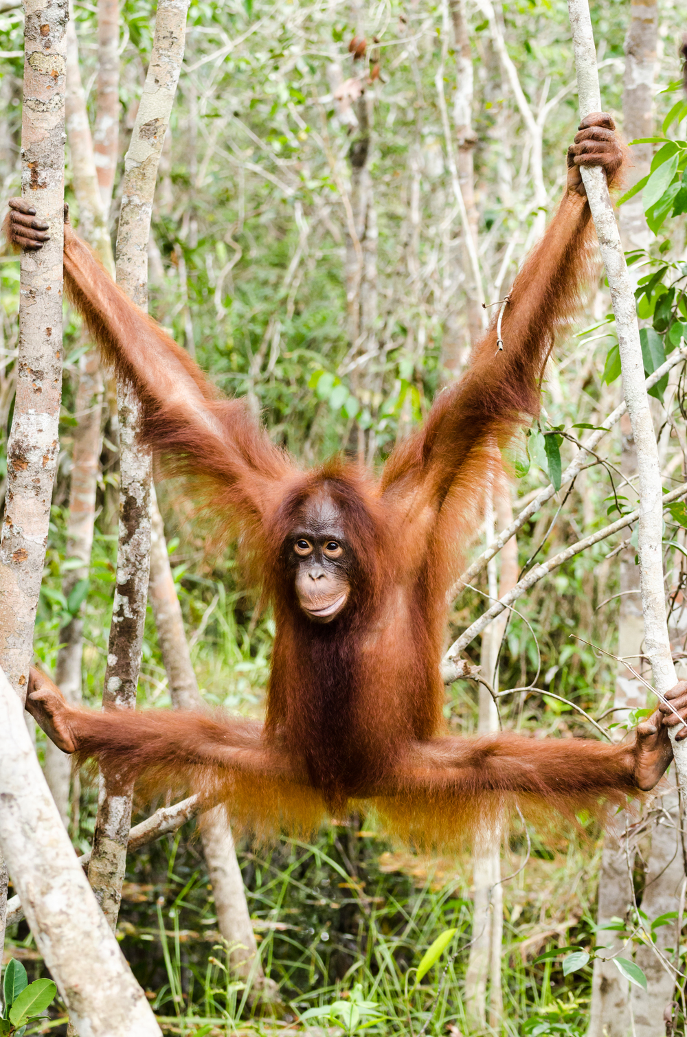orang-utan-hanging-in-trees.jpg