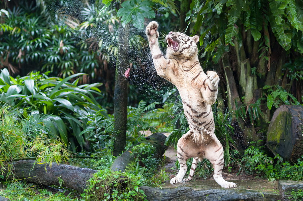 tiger-singapore-zoo.jpg