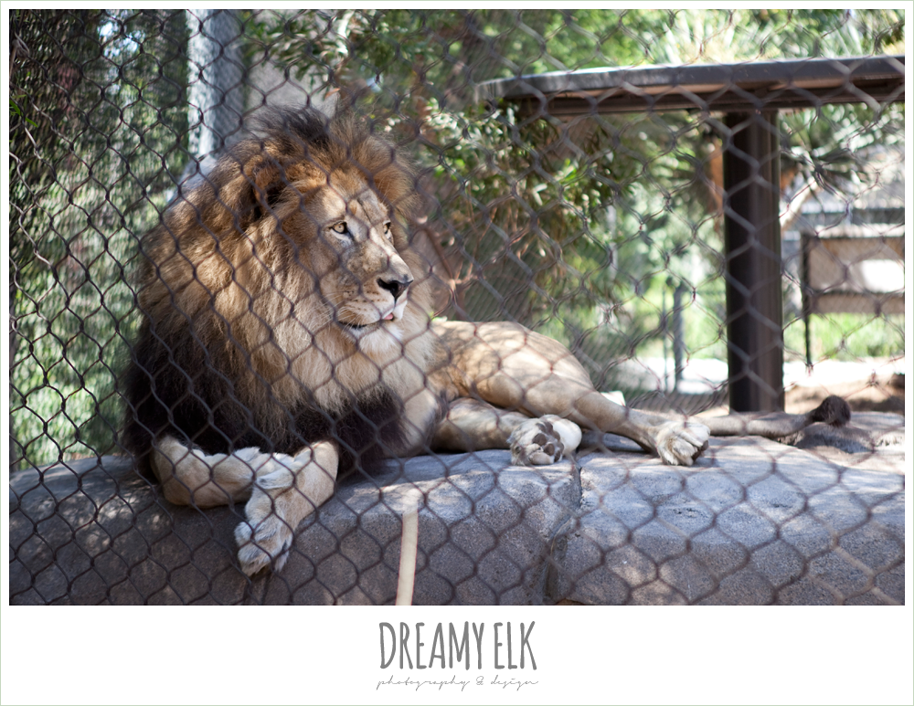 lion at san diego zoo
