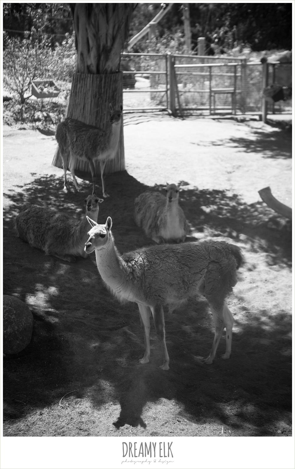 llama at san diego zoo