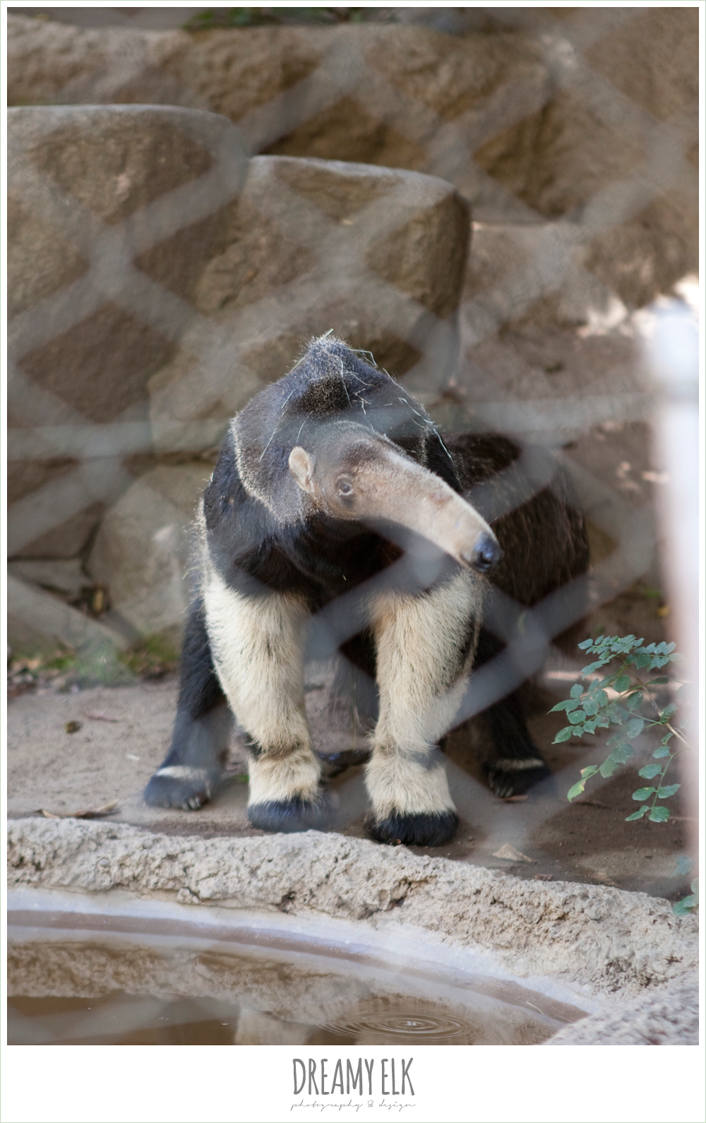 anteater at san diego zoo