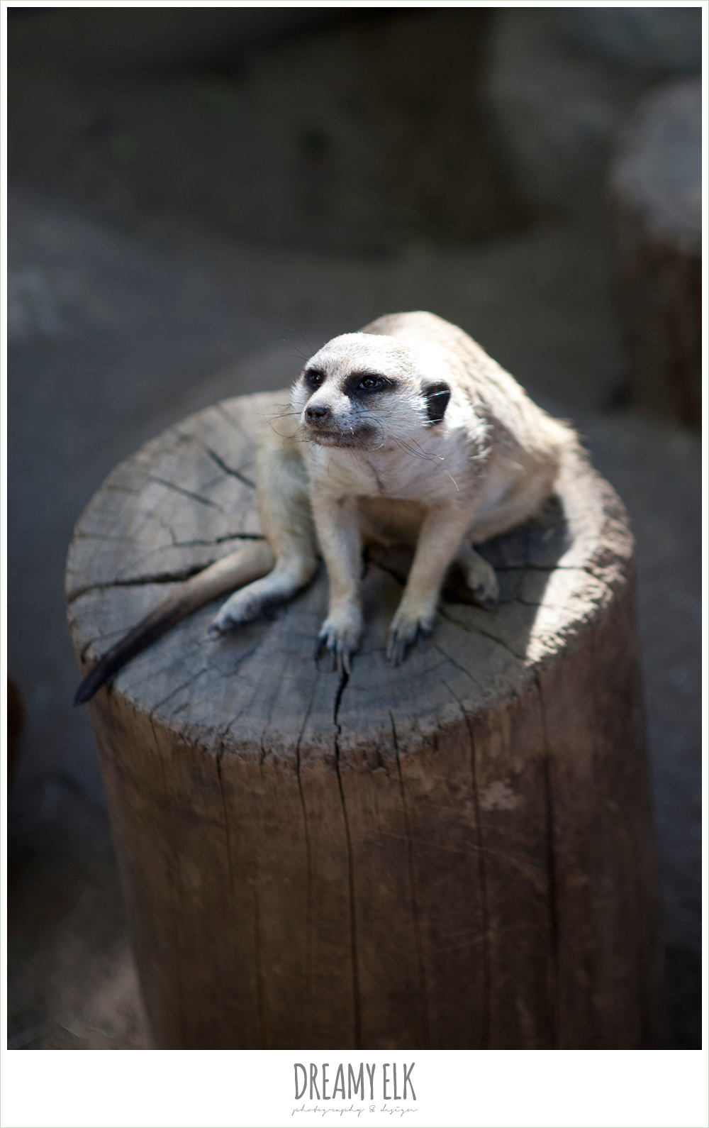 meerkat at san diego zoo