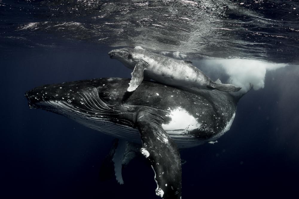 Humpback whales, Tonga, Vava'u