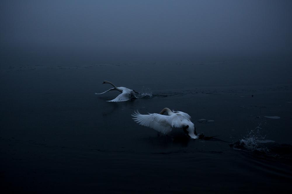 swans001.jpg